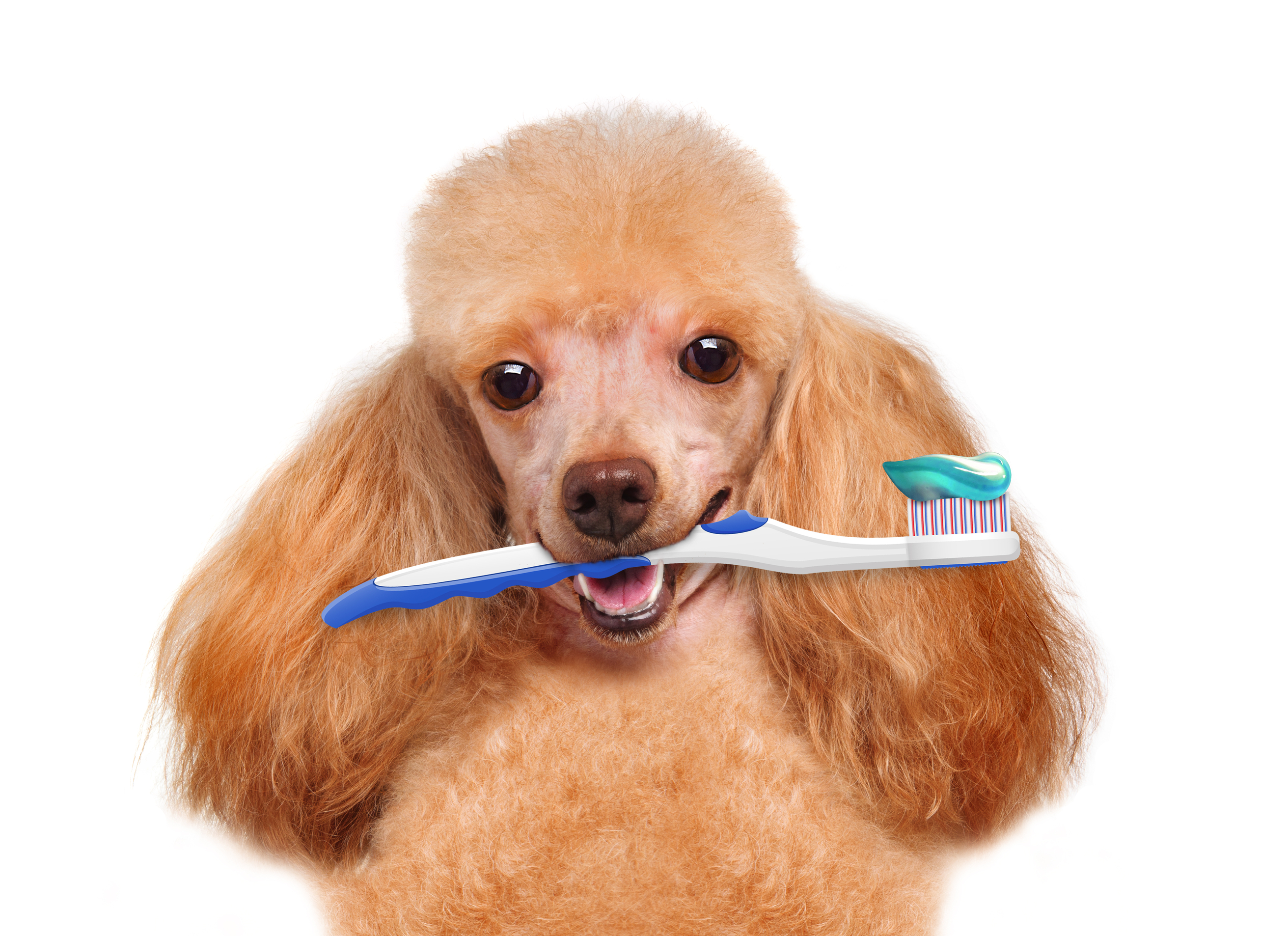 poodle with toothbrush